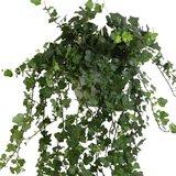 hojas hiedra