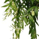 hojas esquenanto (aeschynanthus japhrolepis)