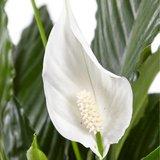 flor de spathiphyllum sweet lauretta
