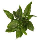 spathiphyllum sweet lauretta hojas