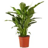spathiphyllum sweet lauretta 100cm