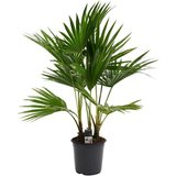 palmera livistona 100cm