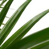 palmera livistona hojas