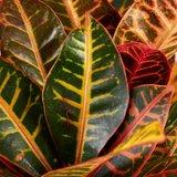 hojas croton petra