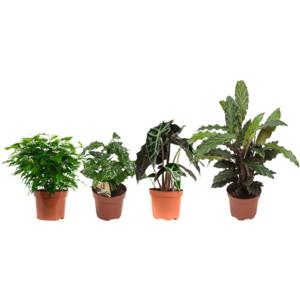 mezcla de 4 plantas de interior