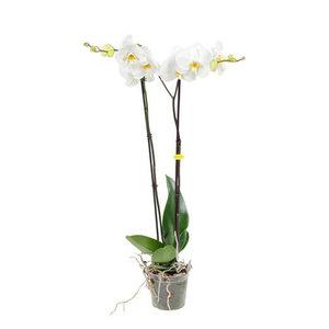 orquídea blanca 100cm