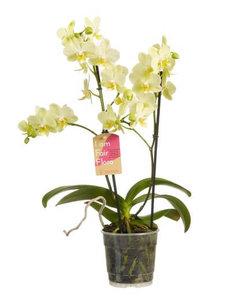 orquídea blanca 50cm