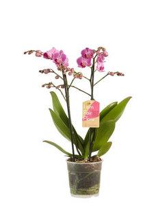 orquídea rosa 50cm
