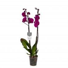 orquídea morada joy ride
