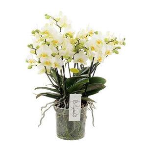orquídea blanca con muchos ramos de 50cm