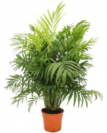 palmera camaedorea 95cm