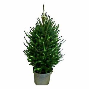 árbol de navidad picea glauca 70cm