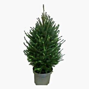 árbol de navidad picea glauca 90cm