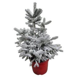 árbol de navidad picea abies blanco 60cm