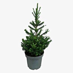 árbol de navidad picea abies 50cm