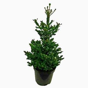 árbol de navidad picea abies 70cm
