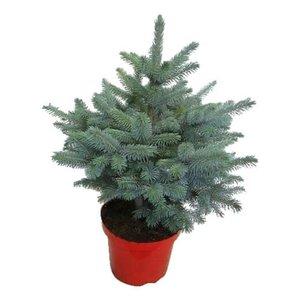 árbol de navidad picea pungens 50cm