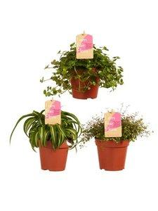 trio de plantas colgantes