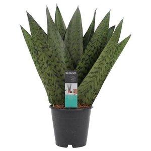 sansevieria zeylanica forma de abanico 35cm