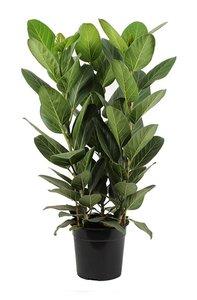 ficus benghalensis audrey 90cm
