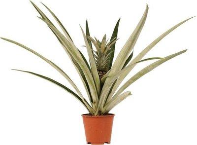 planta pina champaca 55cm
