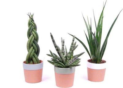 trio sansevieria cylindrica con maceteros