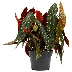 begonia maculata 45cm