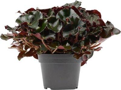 begonia erythrophylla selva negra 40cm