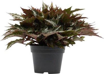 begonia verde sumatra 40cm