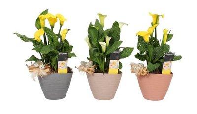 trio de plantas alcatraz amarillo y blanca