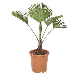 palmera trachycarpus wagneriana 75cm