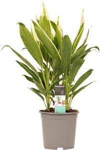cordyline fruticosa new conga 60cm