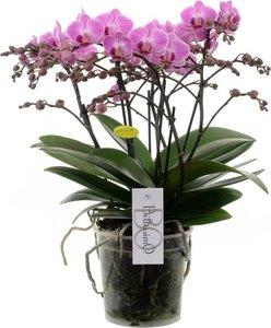 orquídea bellissimo rosa 50cm