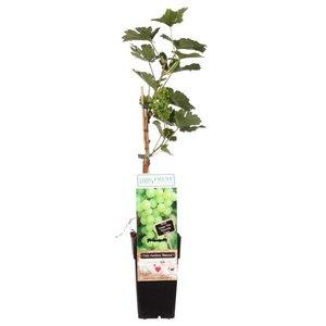 parra uvas blancas 55cm
