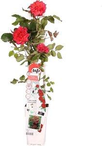 rosal trepador rosa/rojo 60cm