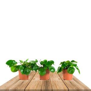 trio planta china del dinero 20cm