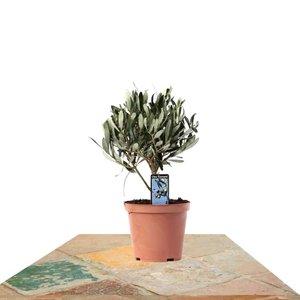 árbol olivo pequeño