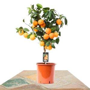 cítrico naranjo rojo 70cm