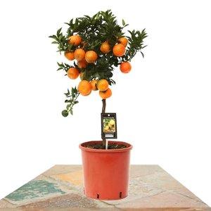 mandarino 85cm