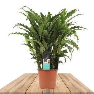calathea rufibarba bluegrass 60cm