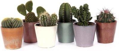 6 cactus en maceteros
