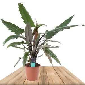 alocasia lauterbachiana 80cm