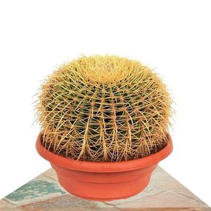 echinocactus grusonii grande
