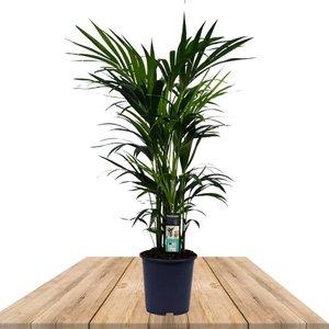 palmera kentia 120cm