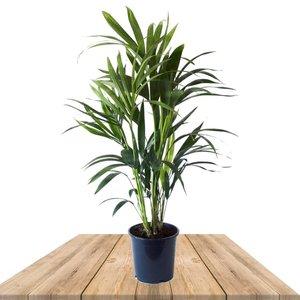 palmera kentia 90cm