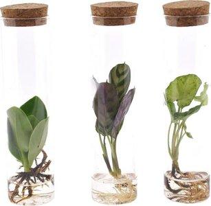 set de plantas hidropónicas tubos de cristal