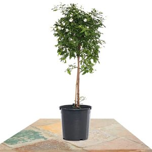 solanum rantonetti blanco 85cm