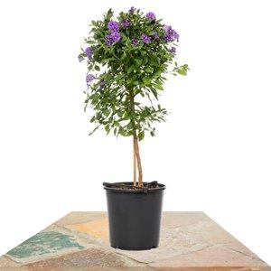 solanum rantonetti azul 85cm