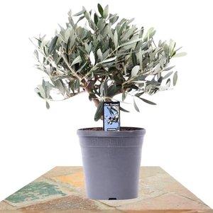 árbol olivo 40cm