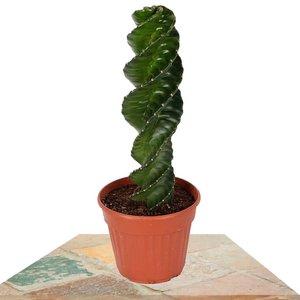 cactus espiral cereus spiralis